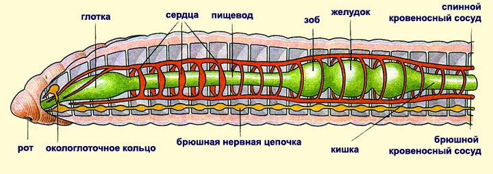 Рисунок червя с подписями